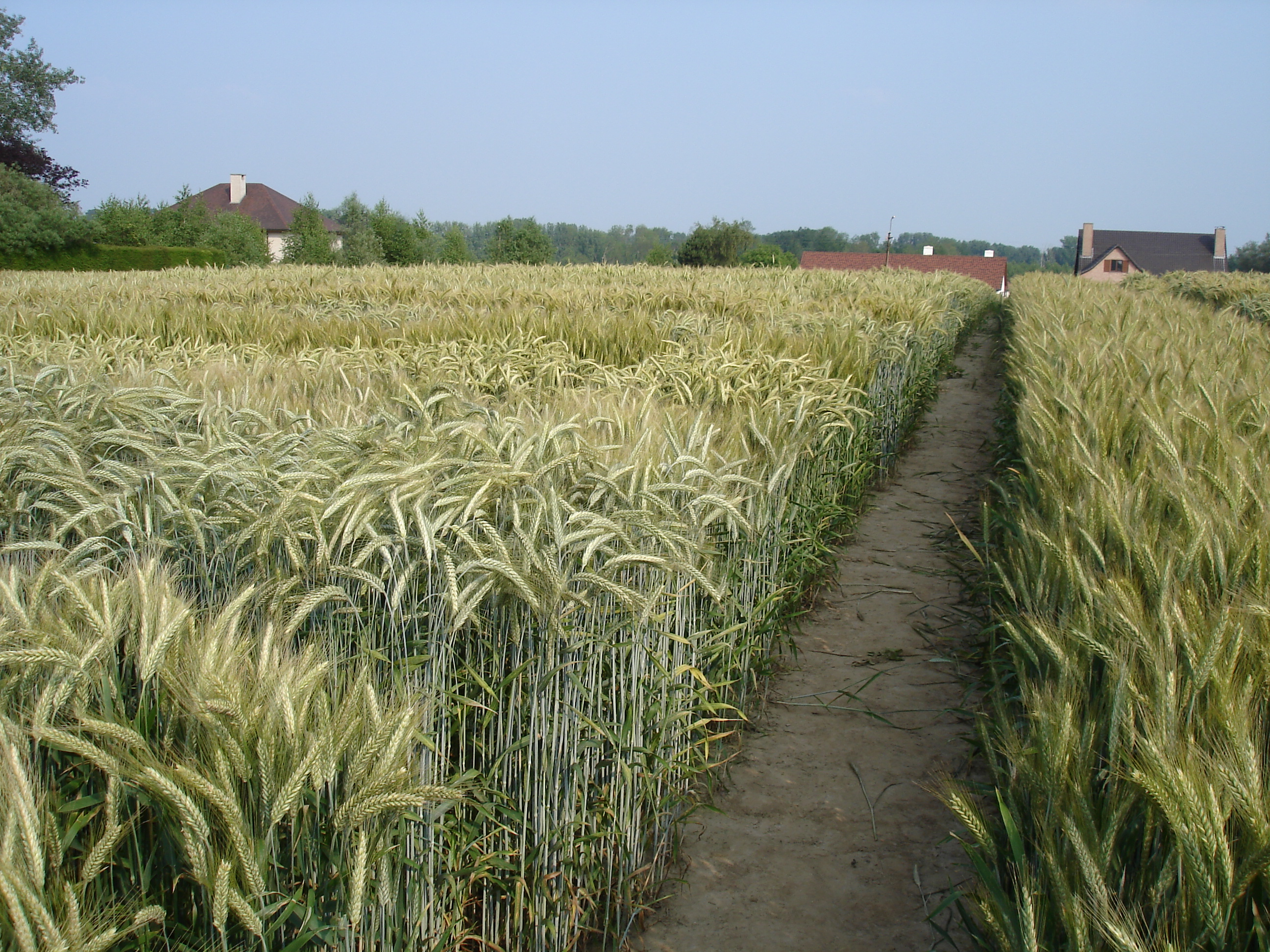 10th international triticale symposium request for seeds
